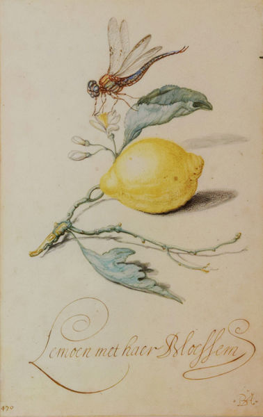 Balthasar van der Ast (1593-1657) <em>Still life of a Flowering Lemon with a Dragonfly</em>, watercolor and gouache on paper, ca. 1632-57